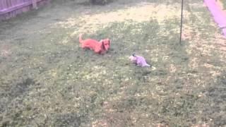 Dachshund Vs Possum