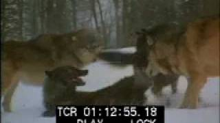 Wolf Pack - Wolves - Wolves Fighting - Best Shot Footage - Stock Footage