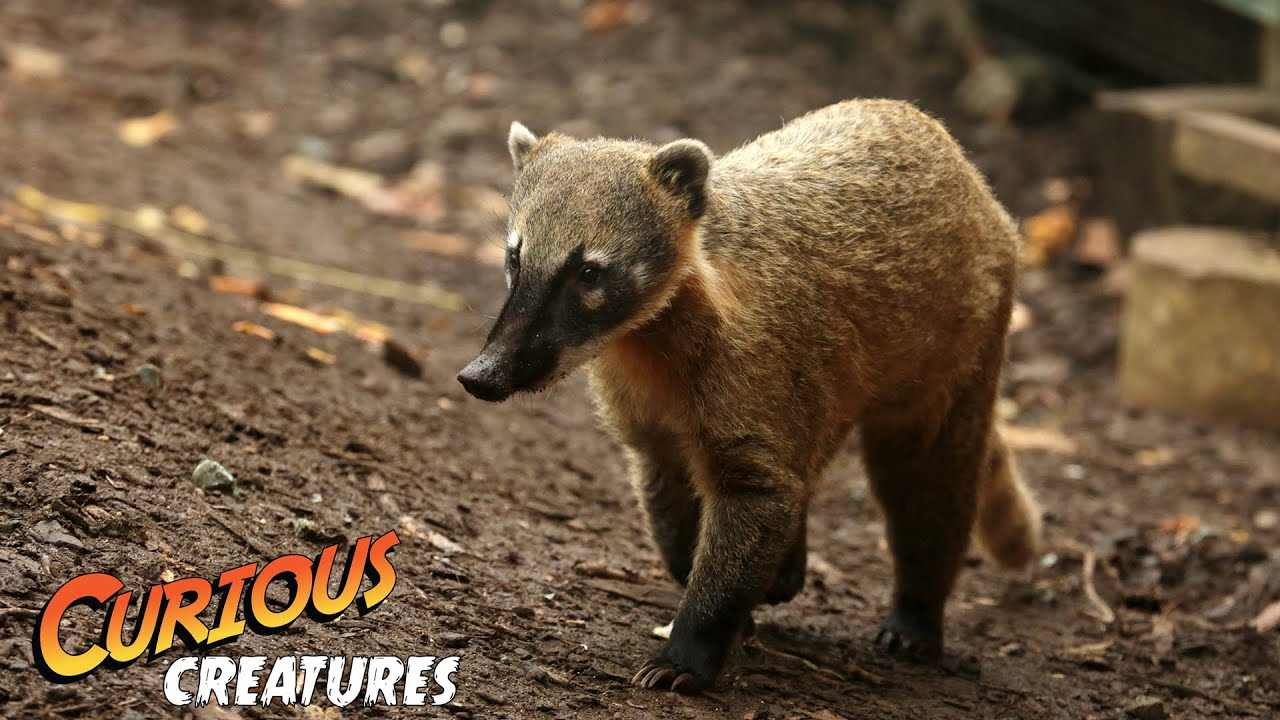 coati curious creatures youtube