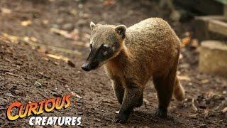 Coati | Curious Creatures