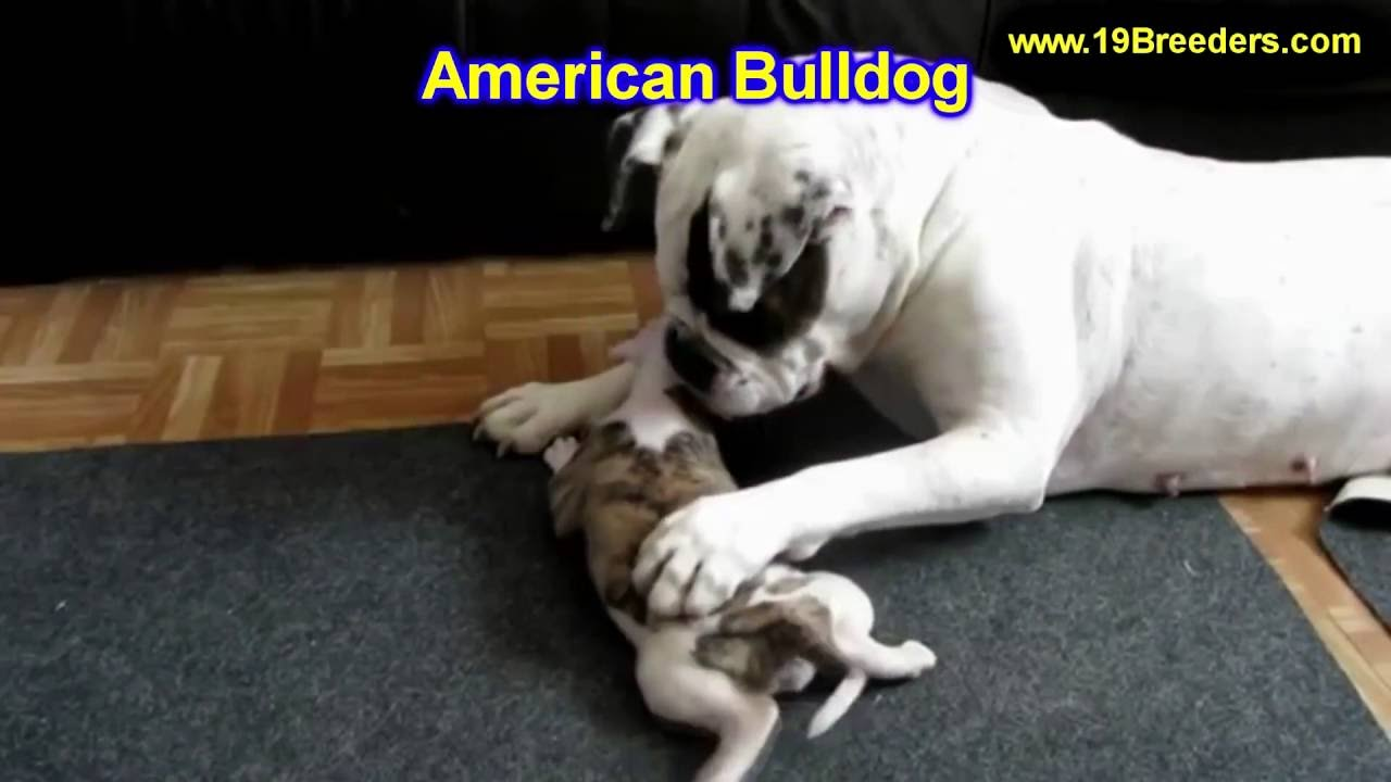 american bulldog, puppies, dogs, for sale, in anchorage, alaska, ak,  19breeders, fairbanks