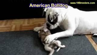 American Bulldog, Puppies, For, Sale, In, Anchorage, Alaska,AK, Fairbanks, Juneau, Eagle River