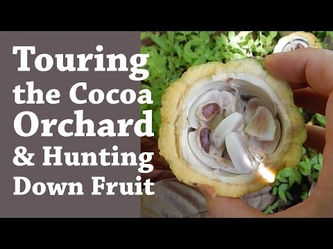 Touring the Cocoa Orchard and Hunting Down Fruit (Day 7 of 30)