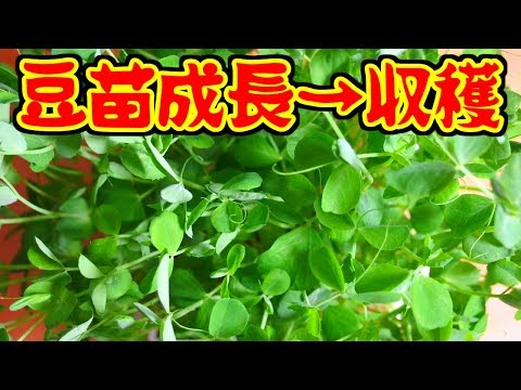 豆苗成長→収穫...