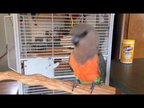 Do African Red Bellied Parrots Have Rhythm?