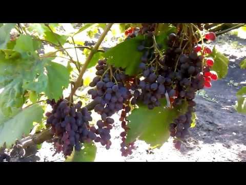 сорт винограда кишмыш