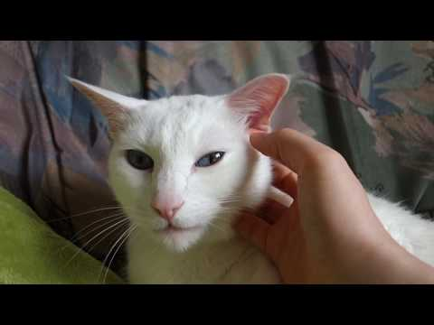 Otani, the purring Siamese Cat & his funny reaction on getting a massage