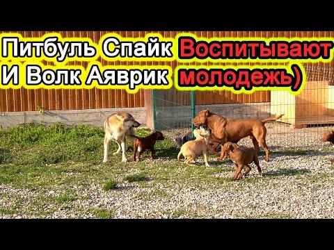 Видео: Питбуль Спайк при поддержки Волка Аяврика помогают воспитывать щенков)!
