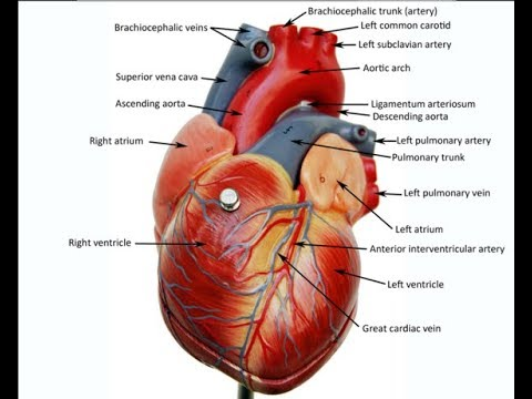 live tutorial walk through the medium-sized heart model anatomy practical  exam review