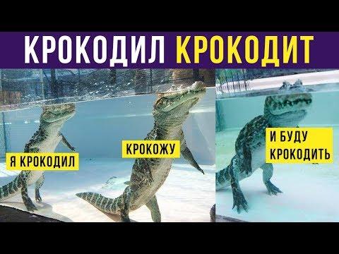 Приколы. Я крокодил, крокожу и буду крокодить! | Мемозг #218