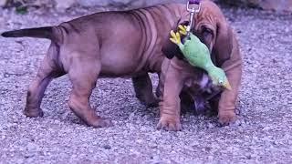 щенки Фила Бразилейро(Бразильский Мастиф). puppies Fila Brasileiro(Brasilian Mastiff)