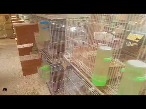 OPALINE LOVEBIRDS BREEDING ROOM🐤🐤🐤🐤 (Criadero de Agapornis)