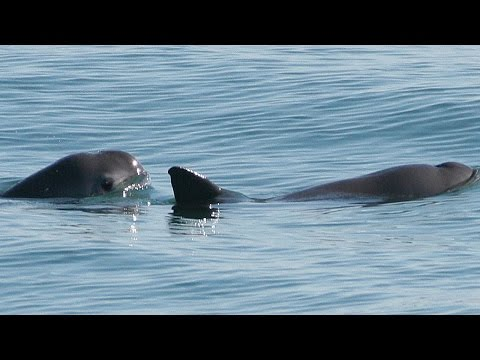 Vanishing Vaquita: Eyewitness to Extinction?