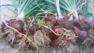 Massive Onion Harvest | Organic Terrace Garden | May 12, 2018 Update | Onions in Cement Bags | EP 17