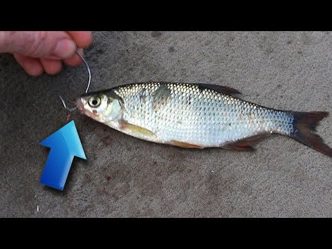Tips For Catching More Bass With Live Bait! - How To Catch Bass - Bass Fishing With Live Bait