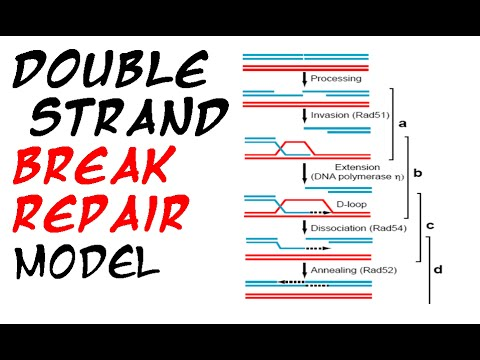 Double strand break repair model