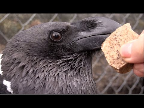 Raven catching rocks