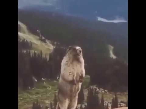 Орущий сурок | Орущий суслик | Marmot shouts