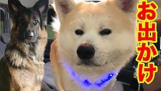 grandchild and #GermanShepherd#秋田犬#シェパード犬 連休明けで、混雑...