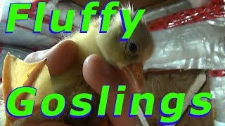 Goslings Moving To Barn Today #48 Hatching Duck & Goose Eggs