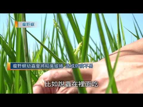 水稻防疫|常見蟲害篇