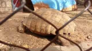 سلحفاة في حديقة الحيوان _ صنعاء