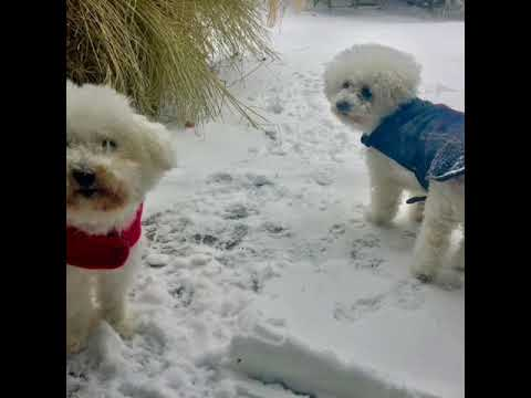 Bichons modeling the Wool Plaid Dog Coat  and Fleece Jacket