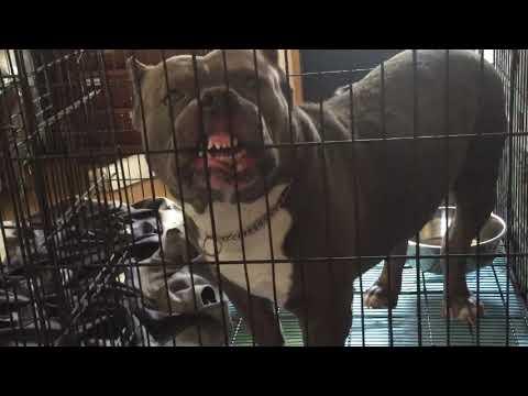 [危険犬種]-アメリカン-ピット-ブル-テリア