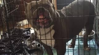 闘犬の一種であるため、突発的な攻撃性も含めて飼育者およびその家族の...