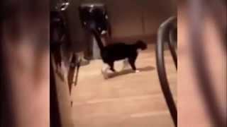 Кот прыгает на задних лапах