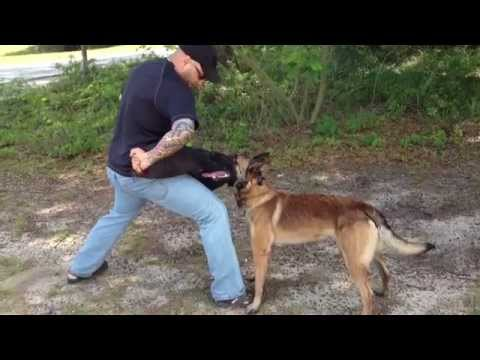 Self Train your own Protection Dog like this!