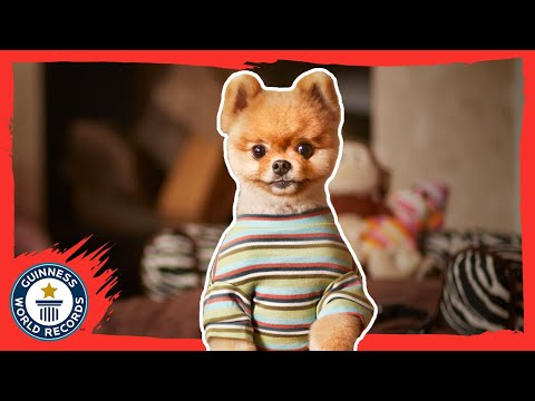 Jiffpom - The fastest dog on two paws - Meet The Record Barkers