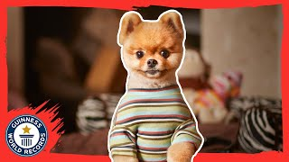 Jiff - The fastest dog on two paws - Guinness World Records 2015