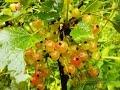ягоды красной смородины фото