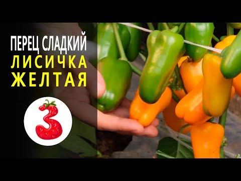 ПЕРЕЦ ЛИСИЧКА ЖЕЛТАЯ обилие сахарных миниатюрных плодов. Гариш. | заболеваниям | устойчив | салатный | сладкий | салатов | вкусных | семена | лучший | самых | перца