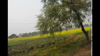 The Beautiful Yellowish Mustard Seeds Plants
