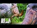 El picozapato en acción a las orillas del Nilo | Ríos de África | Animal Planet