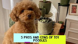Should I get a toy poodle? Pros and Cons