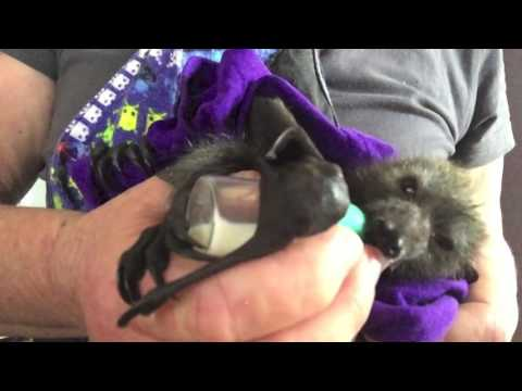 Baby bat being fed:  This is Blue Ranger
