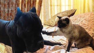 Собака Кане Корсо Деррек и кошка  #canecorso