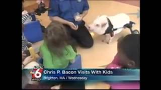 Chris P Bacon   news anchor reporter looses control laughs at name of pig thumbnail
