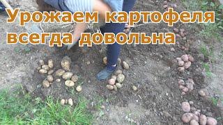 Урожаем картофеля всегда довольна. Несколько секретов