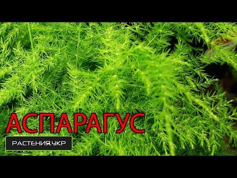 Как правильно высадить и вырастить Аспарагус из семян? / комнатное растение аспарагус
