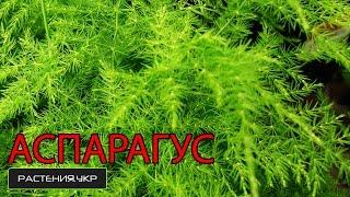 видео Спаржа лекарственная Asparagus officinalis