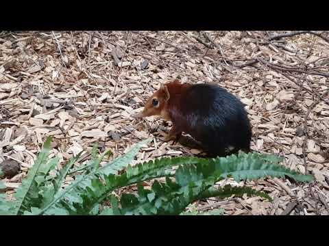 Black-and-rufous elephant shrew