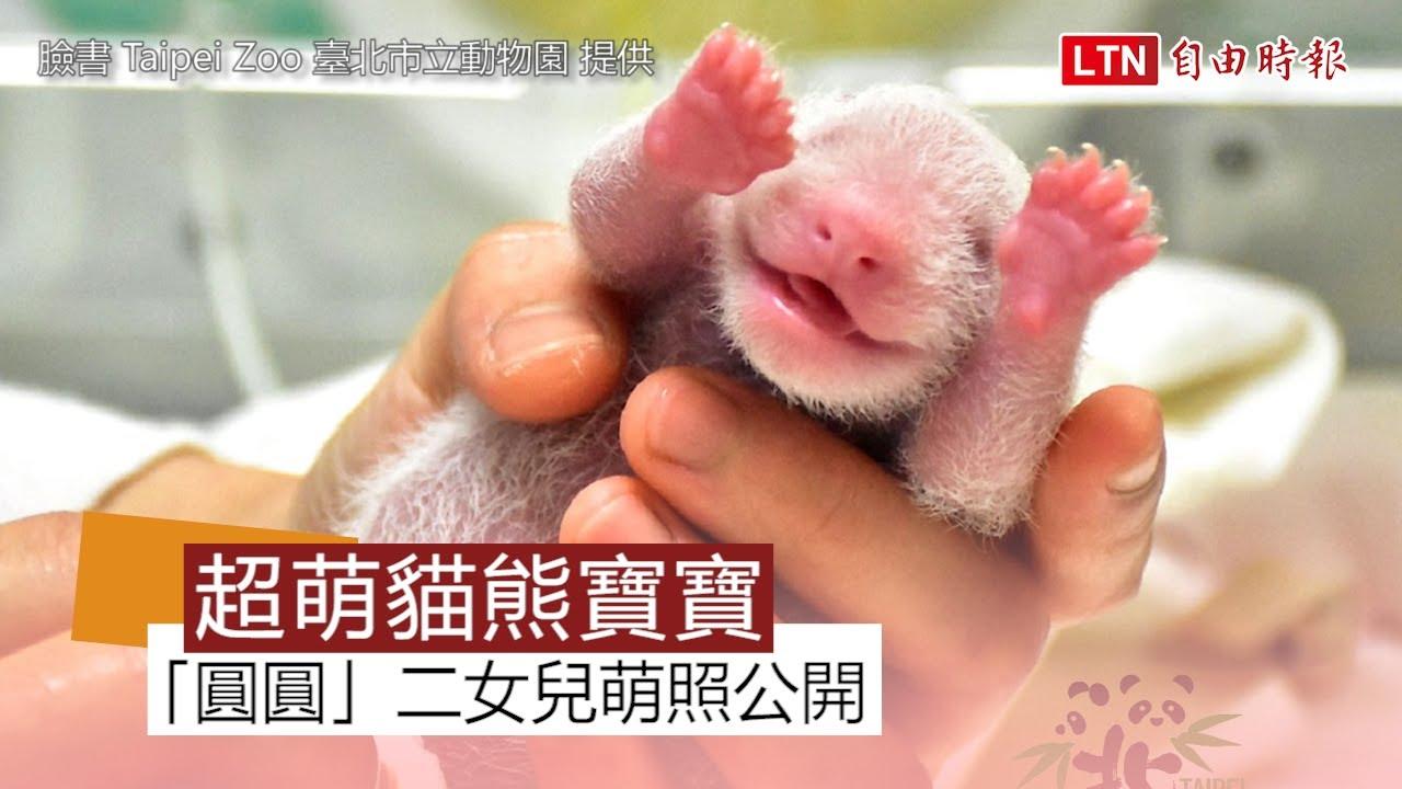 萌翻!大貓熊二寶可愛露笑 「平、安」娃娃伴成長 (台北市立動物園提供)