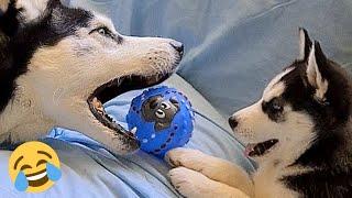 Los vídeos más graciosos y divertidos en tiktok de perro y su joven hermana [HUSKY AND PUPPY HUSKY]
