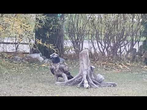 Bearded vulture swallowing a bone