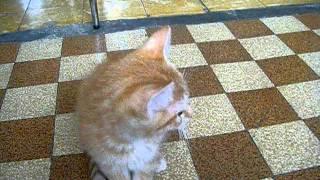 Mon chaton Roux qui miaule