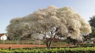 25 Árvores Para Plantar Em Sua Calçada